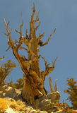 Bristlecone Pine Snag. Ancient bristle-cone pine tree trucks become a tangle after a thousand winters Royalty Free Stock Photo