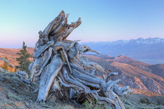 Bristlecone Pine Stump Royalty Free Stock Image