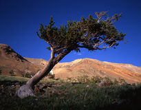 Bristlecone Pine Tree. A windswept Bristlecone Pine Tree stock images