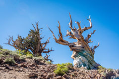 Bristlecone-Pine Royalty Free Stock Images