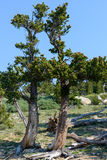 Bristlecone Pine Trees in Colorado Royalty Free Stock Image