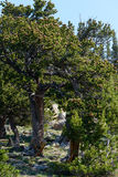 Bristlecone Pine Trees in Colorado Royalty Free Stock Photography