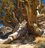 Bristlecone Pine Trunk Stock Images