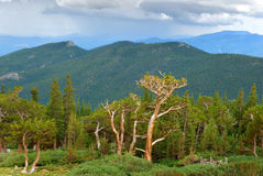 Bristlecone Pines Stock Images