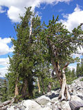Bristlecone Pines in the Great Basin National Park, Nevada. The scientific name is Pinus longaeva. Grows at high altitude environments in extreme wind and cold Royalty Free Stock Photos