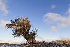 Bristlecone pinjeskog Fotografering för Bildbyråer