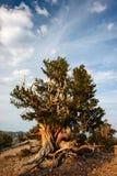 Bristlecone sörjer i de vita bergen Royaltyfria Bilder
