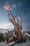 Bristlecone sörjer i de vita bergen Royaltyfria Foton