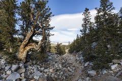 Bristlecone sörjer slingan i stor handfatnationalpark Arkivfoton
