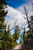 Bristlecone sosny gaju ślad piekarz - Wielki Basenowy park narodowy - Zdjęcia Stock