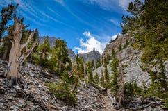 Bristlecone sosny gaju ślad piekarz - Wielki Basenowy park narodowy - Fotografia Royalty Free