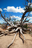 Bristlecone Tree at Bryce Canyon Stock Images