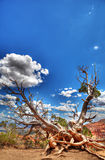 Bristlecone Tree at Bryce Canyon Stock Photo