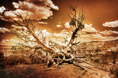 Bristlecone Tree at Bryce Canyon Royalty Free Stock Photography