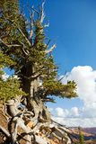 bristlecone Utah Στοκ φωτογραφίες με δικαίωμα ελεύθερης χρήσης