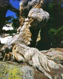 bristleconen sörjer treen Arkivfoto