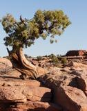 Bristleconepijnboom en Rode Rotsvormingen dichtbij Canyonlands-Natie Royalty-vrije Stock Afbeelding