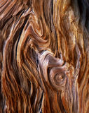 BristleconePineGrain. The exposed grain of a Bristlecone Pine Tree, located in the Patriarch Grove section of the Inyo National Forest, California Royalty Free Stock Photo