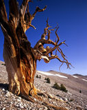 BristleconePineTree2. A Bristlecone Pine tree located in the Patriarch Grove of the Inyo National Forest, California Royalty Free Stock Photos