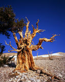 BristleconePineTree3. A bristlecone pine tree located in the Patriarch Grove section of the Inyo National Forest, California Stock Images