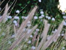 Bristlegrass en el viento Foto de archivo libre de regalías