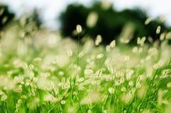 Bristlegrass verde  Immagini Stock