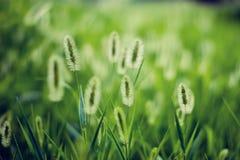 Bristlegrass vert de lumière du soleil Photo stock