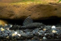 Bristlenose catfish Royalty Free Stock Images