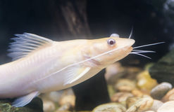 Bristlenose Pleco, catfish albino Stock Images