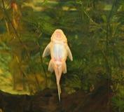 bristlenose plecostomus γατόψαρων Στοκ Φωτογραφία