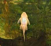 Bristlenose, Plecostomus ou poisson-chat Photographie stock
