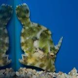 Bristletail of Aiptasia Filefish royalty-vrije stock afbeelding