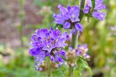 Bristly bellflower, Campanula cervicaria. A blue wildflower stock photos