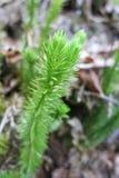 Bristly club-moss or Stiff clubmoss (Lycopodium annotinum). Detail of Bristly club-moss or Stiff clubmoss (Lycopodium annotinum Royalty Free Stock Image