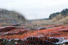 Bristly haircap moss. Carpet of orange haircap moss stock image