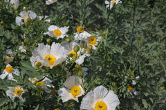 Bristly Matilija Poppy  flowers Stock Photo