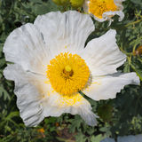 Bristly Matilija Poppy Royalty Free Stock Photography