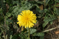 Bristly-ox-tongue, Helminthotheca echioides. Helminthotheca echioides, Picris echioides, bristly-ox-tongue, bristly herb with bristles on leaves and stem, yellow Stock Images
