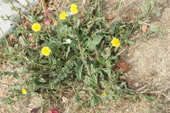 Bristly-ox-tongue, Helminthotheca echioides. Helminthotheca echioides, Picris echioides, bristly-ox-tongue, bristly herb with bristles on leaves and stem, yellow Royalty Free Stock Image