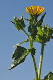 Bristly Oxtongue. Flower - Picris echioides Against blue sky royalty free stock image