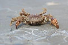 Bristly Xanthid Crab Pilumnus hirtellus. Bristly Xanthid Crab on barnacle encrusted rock royalty free stock photography