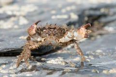 Bristly Xanthid Crab Pilumnus hirtellus. Bristly Xanthid Crab on barnacle encrusted rock stock photography