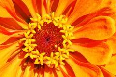 Bristning av färg från denna ursnygga Zinnia Arkivfoton