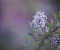 Bristning av lilor Arkivbilder