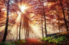 Bristning av solstrålar i en dimmig höstskog royaltyfri foto