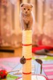 Británicos lindos doblan el gatito ascendente en un juguete Foto de archivo libre de regalías