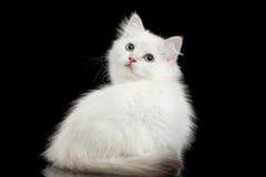 Británicos peludos crían el color blanco de Kitty en fondo negro aislado Fotografía de archivo