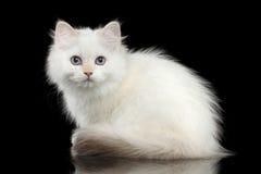 Británicos peludos crían el color blanco de Kitty en fondo negro aislado Fotografía de archivo libre de regalías