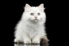 Británicos peludos crían el color blanco de Kitty en fondo negro aislado Foto de archivo libre de regalías