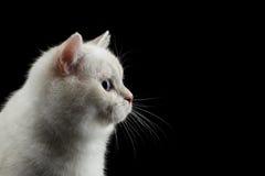 Británicos peludos crían el color blanco del gato en fondo negro aislado Imagen de archivo libre de regalías
